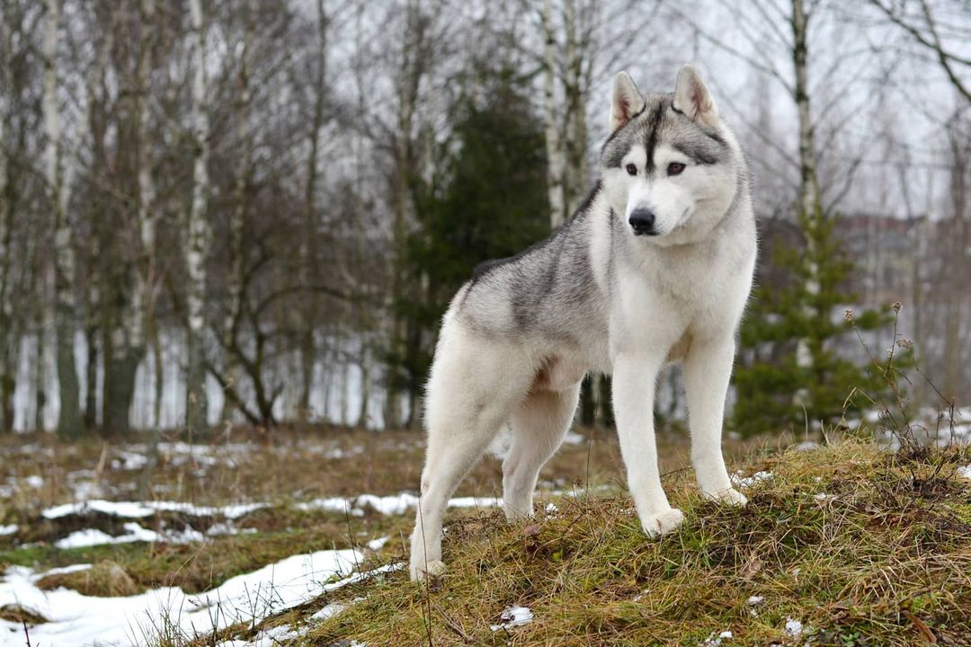 15 Amazing Facts About Siberian Huskies You Probably Never Knew 9