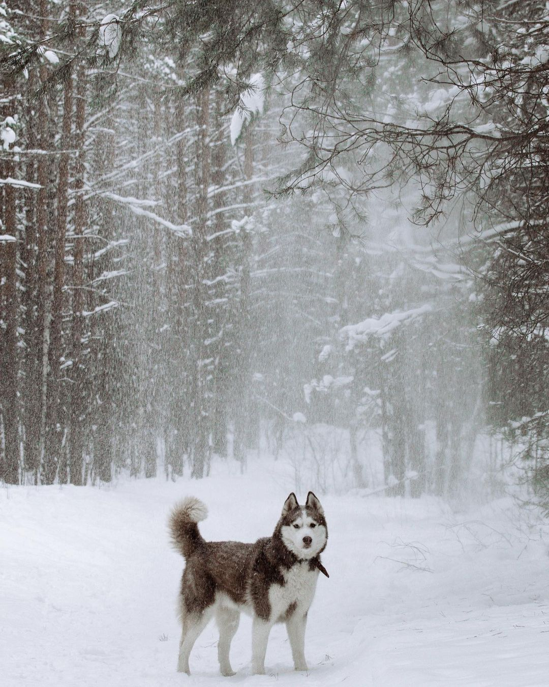 15 Cool Facts About Siberian Huskies 7