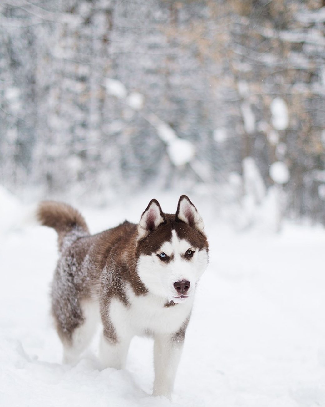 15 Cool Facts About Siberian Huskies 8