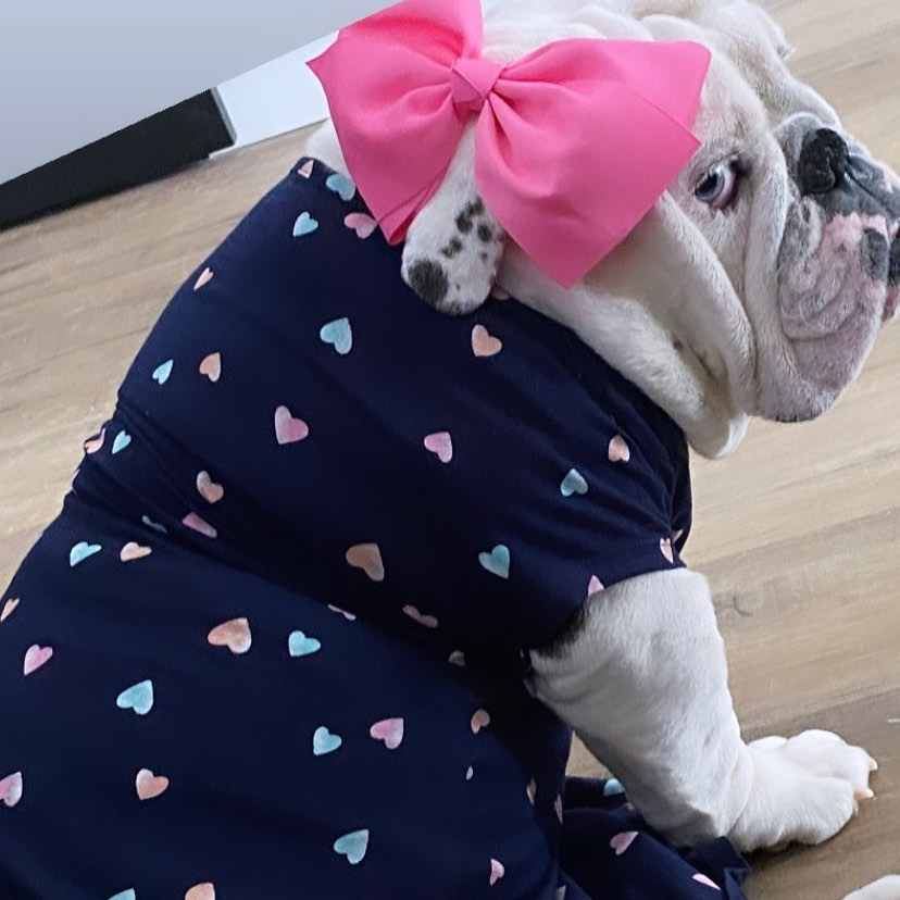 15 English Bulldog Pics That'll Keep You Smiling 9