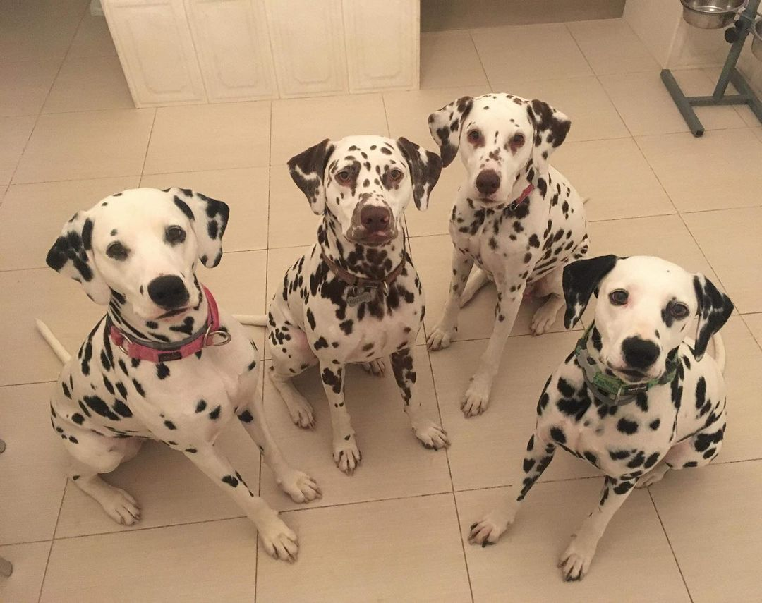 16 Dalmatian Pics That'll Keep You Smiling 8