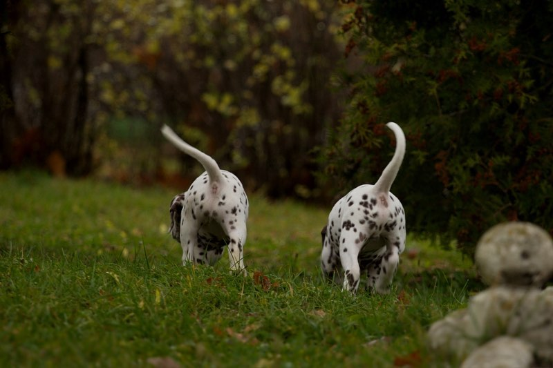 16 Dalmatian Pics That'll Keep You Smiling 9