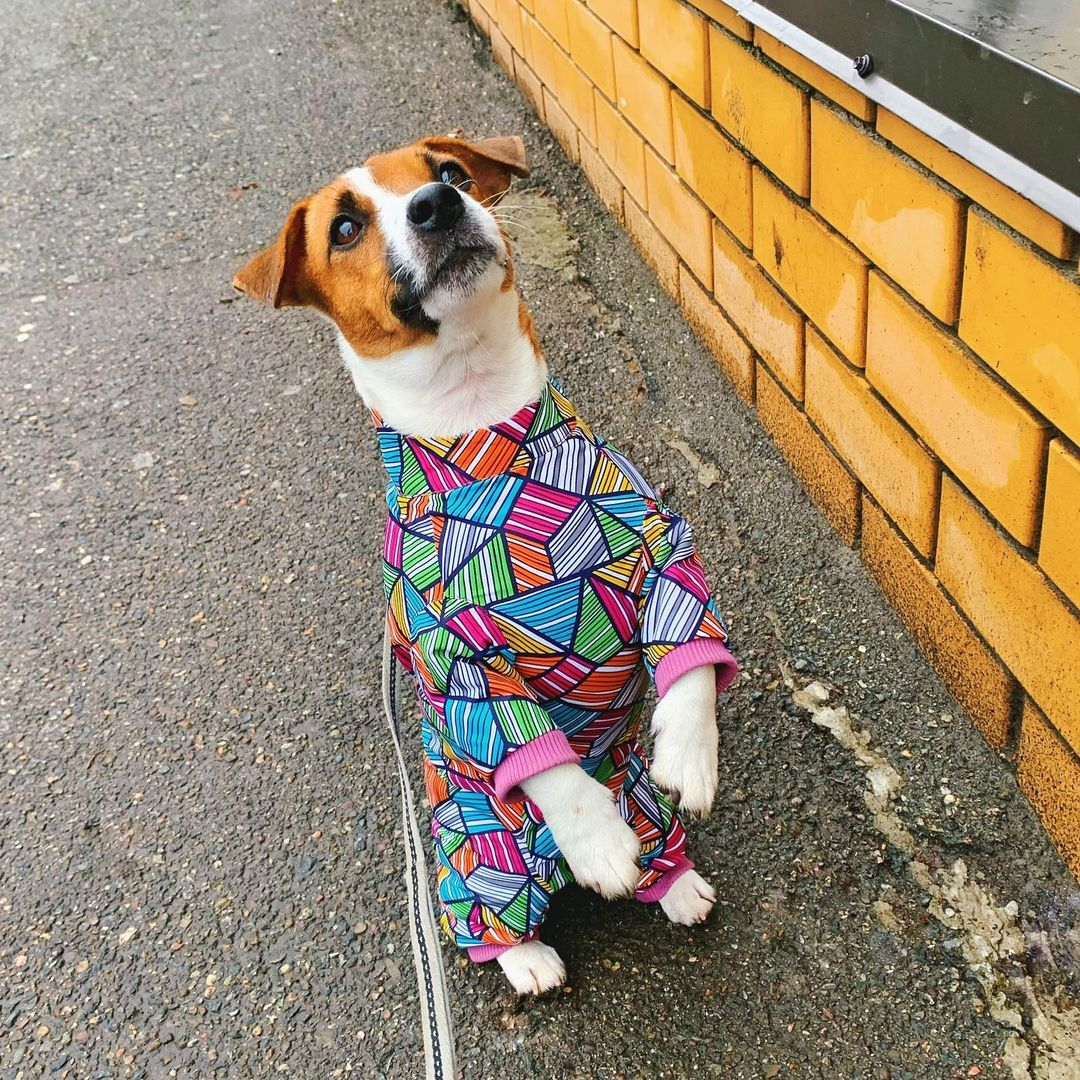 16 Jack Russell Pics That'll Keep You Smiling 8