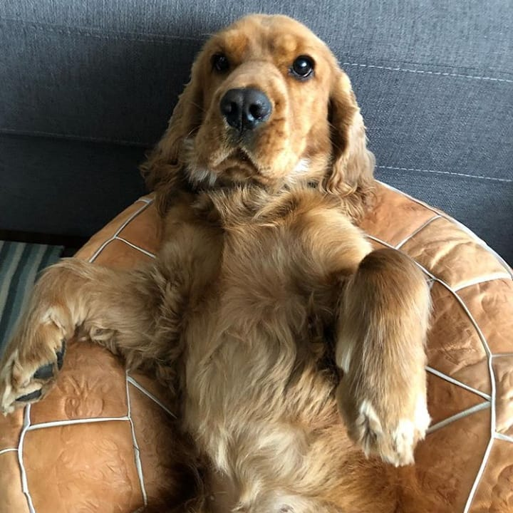 15 Cocker Spaniel Pics That'll Keep You Smiling 7