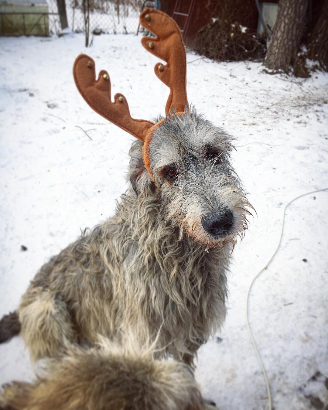 16 Irish Wolfhound Pics That'll Keep You Smiling 9