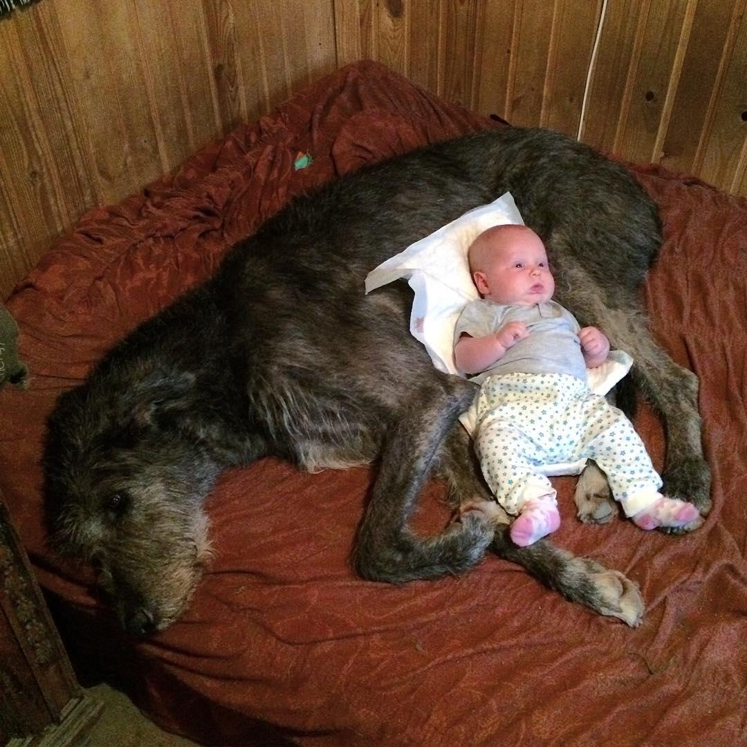 16 Irish Wolfhound Pics That'll Keep You Smiling 7