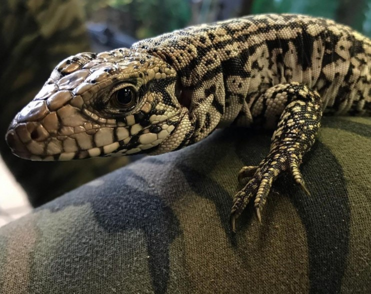 Argentine Black and White Tegu: Maintenance & Care 12