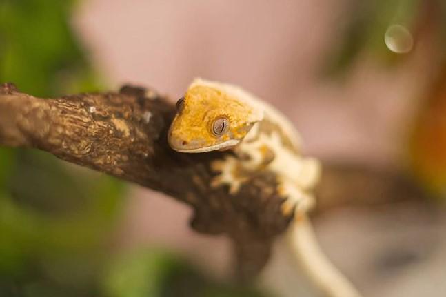 Crested Gecko: Maintenance & Care 12