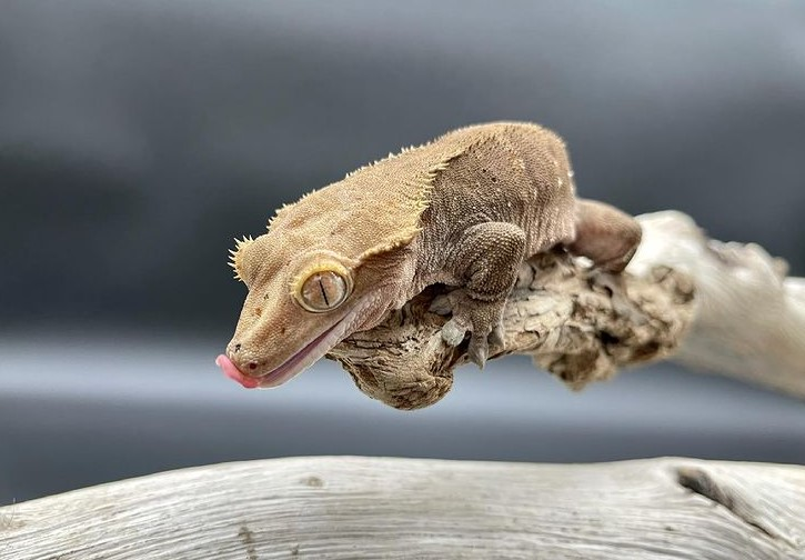 Crested Gecko: Maintenance & Care 13