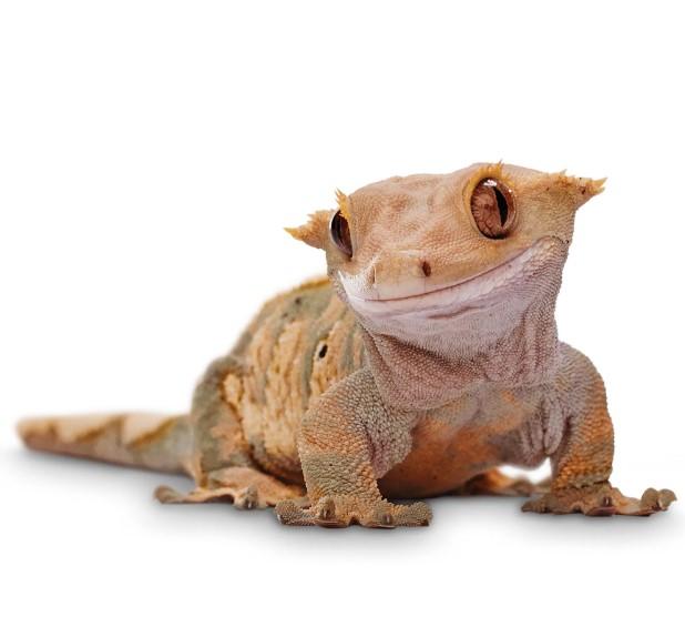 Crested Gecko: Maintenance & Care 11