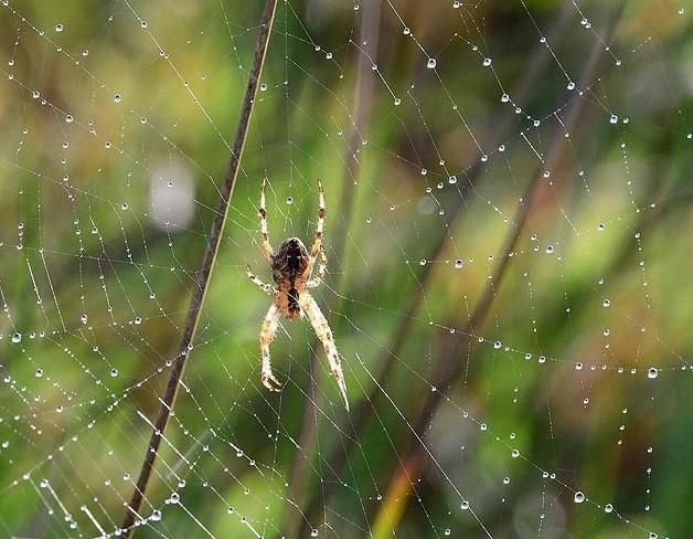 Cross Spider: Species Profile 13