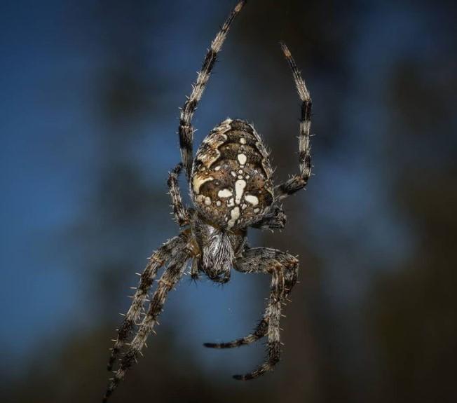 Cross Spider: Species Profile 11
