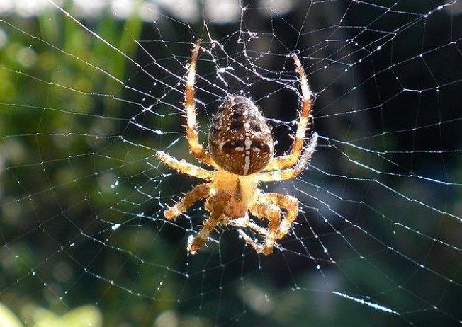 Cross Spider: Species Profile 14
