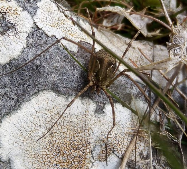 Daddy Longlegs: Species Profile 12