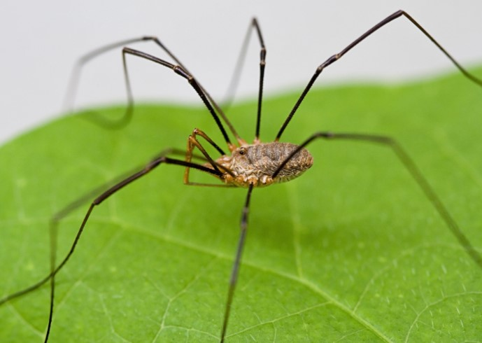 Daddy Longlegs: Species Profile 9