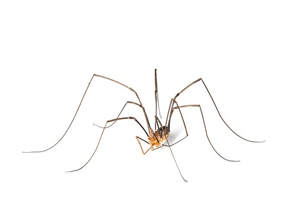 Daddy Longlegs: Species Profile 10