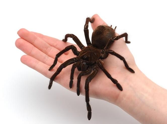 Tarantula: Species Profile 14