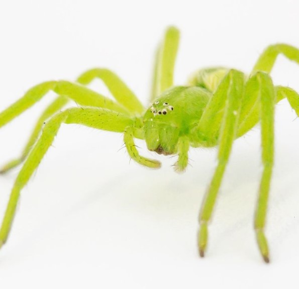 Green Huntsman Spider (Micrommata Virescens): Species Profile 12