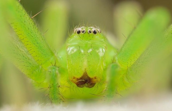 Green Huntsman Spider (Micrommata Virescens): Species Profile 11