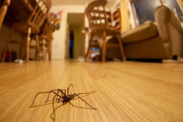 House Spider: Species Profile 14