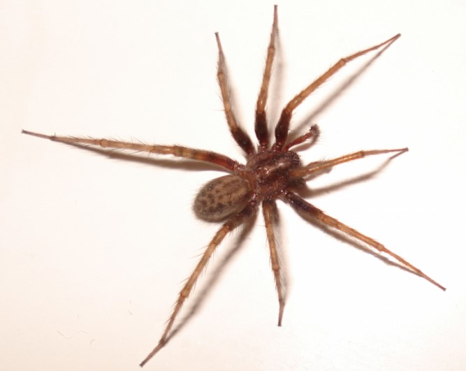 House Spider: Species Profile 13