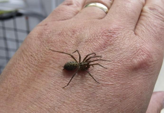 House Spider: Species Profile 15