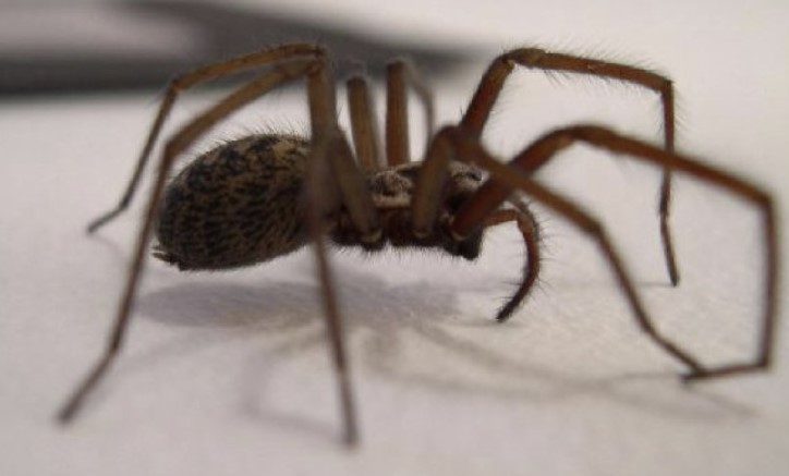 House Spider: Species Profile 18