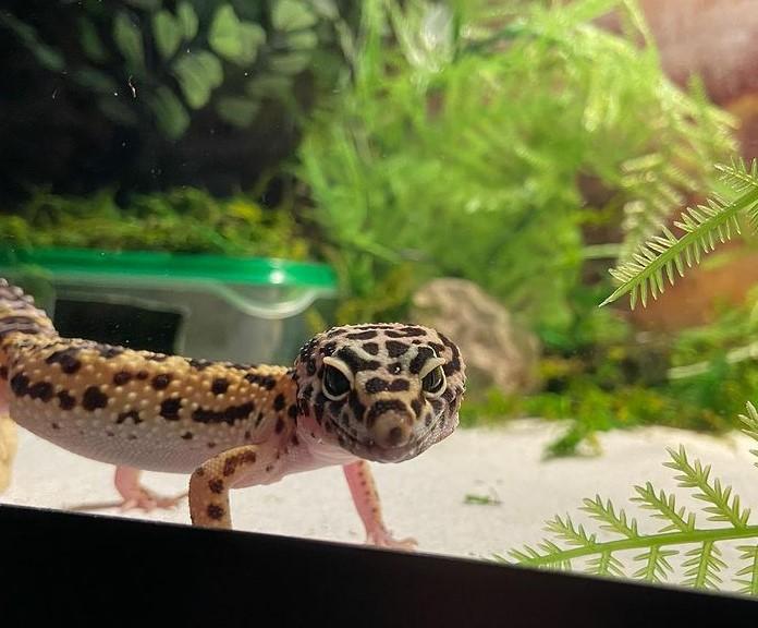 Leopard Gecko: Maintenance & Care 16