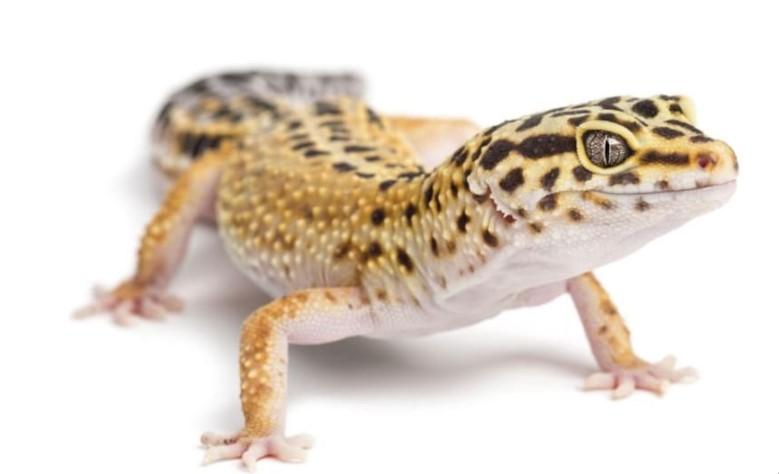 Leopard Gecko: Maintenance & Care 13