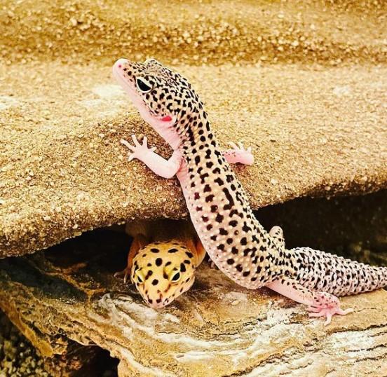 Leopard Gecko: Maintenance & Care 17