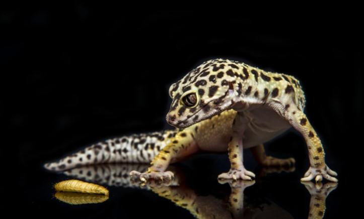 Leopard Gecko: Maintenance & Care 14