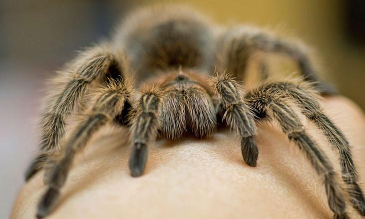 Tarantula: Species Profile 13