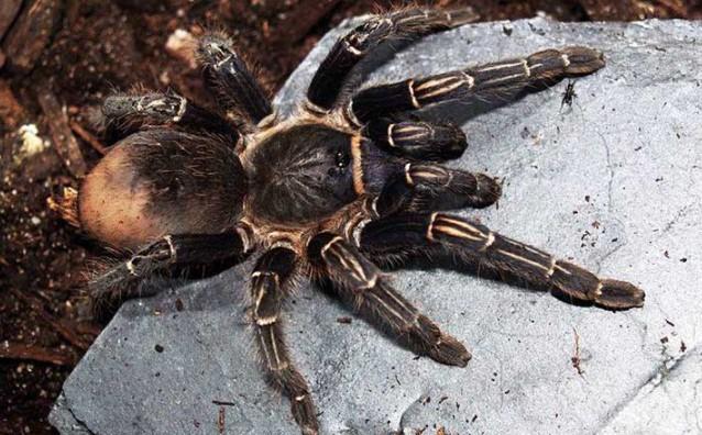 Tarantula: Species Profile 17