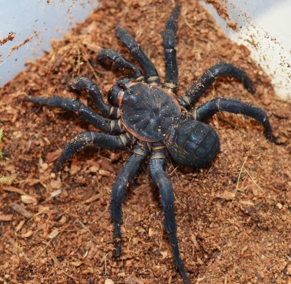 Trapdoor Spider: Species Profile 9