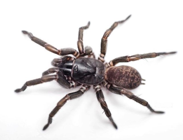 Trapdoor Spider: Species Profile 10