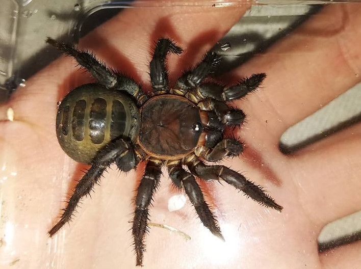 Trapdoor Spider: Species Profile 12