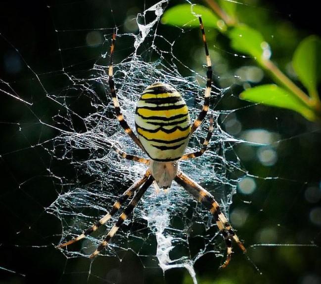 Wasp Spider: Species Profile 18