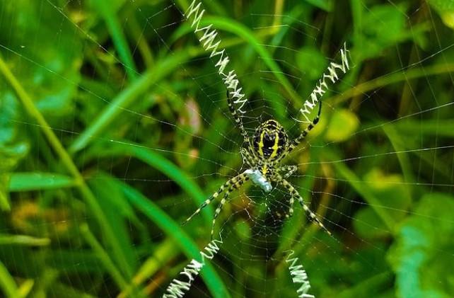 Wasp Spider: Species Profile 15