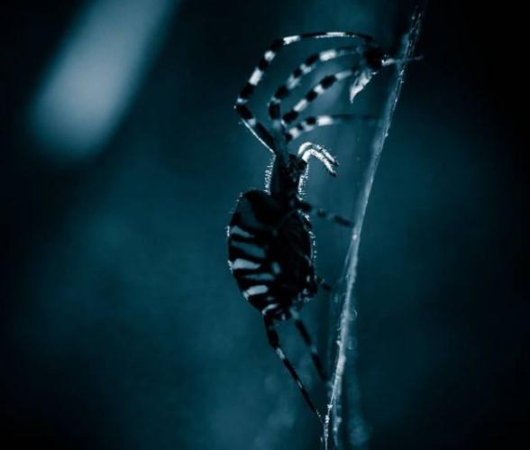 Wasp Spider: Species Profile 17