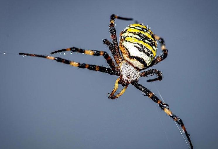 Wasp Spider: Species Profile 13