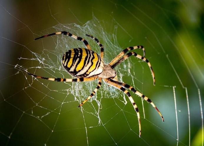 Wasp Spider: Species Profile 14