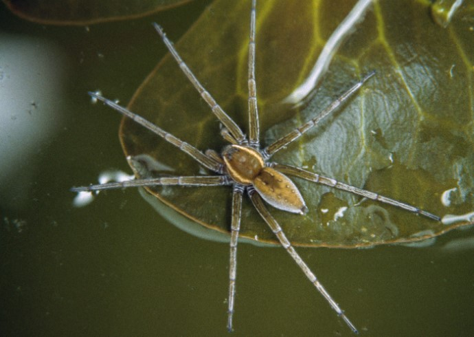 Water Spider: Species Profile 12