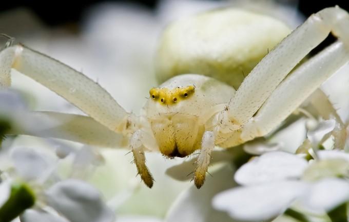 White Widow Spider: Species Profile 12