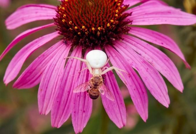 White Widow Spider: Species Profile 10