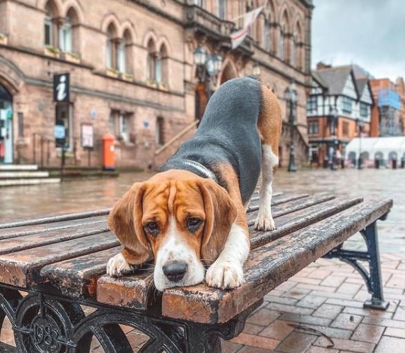 200+ Beagle Dog Names: Male and Female Dog Names 17