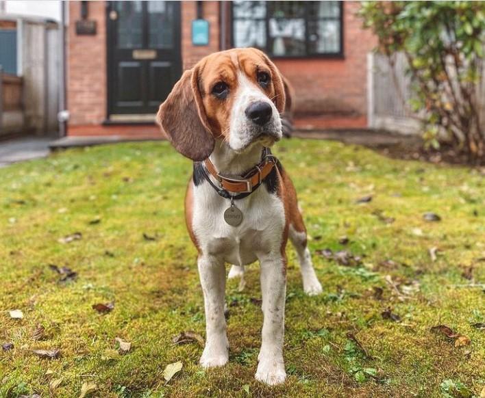 200+ Beagle Dog Names: Male and Female Dog Names 16