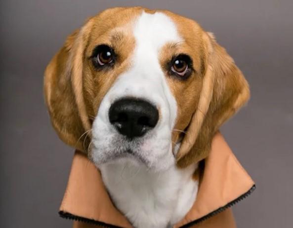 200+ Beagle Dog Names: Male and Female Dog Names 18