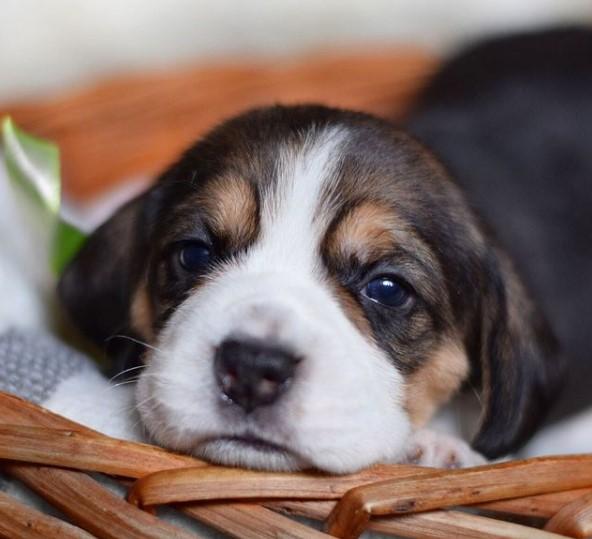 200+ Beagle Dog Names: Male and Female Dog Names 20