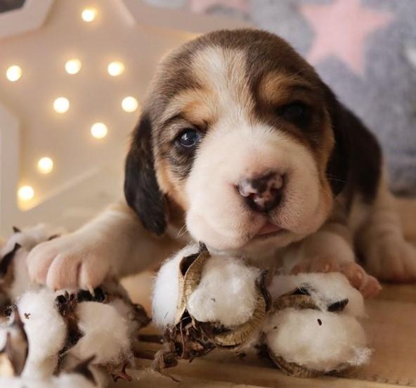 200+ Beagle Dog Names: Male and Female Dog Names 15