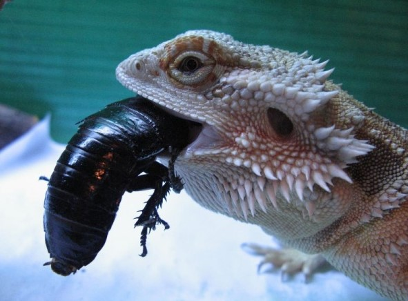 Bearded Dragon: Maintenance & Care 12